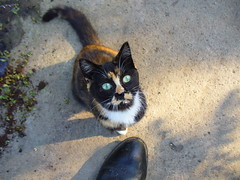 Looking up (sam2cents) Tags: colour green nature animal cat fur eyes kitten tortoiseshell innocence pussycat meaning felisdomesticus superbmasterpiece panasoniclumixdmclz3