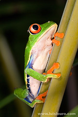 Red Eye tree frog (Lus Louro) Tags: red macro nature colors animal closeup forest ilovenature nikon rainforest costarica wildlife amphibian frog planet poison blueribbonwinner wildlifephotography cmeradeourobrasil bfgreatesthits