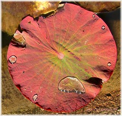 Shining drops ! (Jean-christophe 94) Tags: pink reflection water rose leaf pond rayon soe blueribbon radius blueribbonwinner justimagine mywinners anawesomeshot diamondclassphotographer jc94 jeanchristophe94