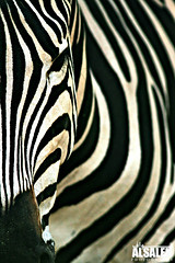 ZEBRA (NaWaFoOo) Tags: animal set canon eos zoo photos zebra kuwait usm  ef q8 nawaf 400mm   f56l  400d  kwtphoto alsaleh kuwaitphoto   nawafooo q8photo  nawafphoto  wwwnawafphotocom nawafphotocom