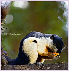 Ado sekor ibu tupai.... (2121studio) Tags: nature nikon squirrel perfect photographer d70s vivid eat malaysia makan pahang chini the tupai pekan supershot 10faves 10fave diamondclassphotographer flickrdiamond beautyintheeyesofthebeholder empyreananimals theperfectphotographer 2121studio