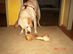 Dog Hund  Golden Retriever      Pet_big food (gigifung76) Tags: food dog pet happy golden big katy retriever hund bone haustiere fressen knochen  riesig tierisch