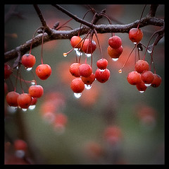red drops (Marco Preti / Tomita) Tags: autumn red rain canon drops berries dof bokeh autunno bacche pioggia tomita naturesfinest supershot sigma150f28 golddragon abigfave platinumphoto colorphotoaward eos40d searchandreward marcopreti