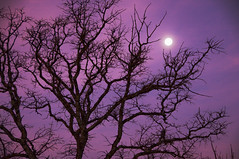 Christmas Morning Moon (Jeff Clow) Tags: christmas morning moon tree silhouette dawn bravo raw texas explore dfw nikkor18200mmvr infinestyle nikond300 jeffrclow merrychristmasdearfriend frjrc