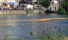 Bamberger Entenrennen 4/6 (AnnAbulf) Tags: fiume flus bamberg franconia enten franken ente entenrennen pegnitz anatre piccolavenezia kleinvenedig ph016 bamberga corsadelleanatre