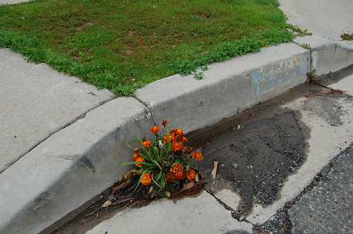 Marigolds in the Gutter