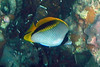 Lined Butterflyfish on Koh Ngai Island