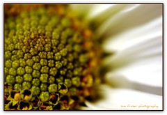 journey to the center of the mind (suesue2) Tags: flower macro bravo center daisy middle masterphotos suesue2 amazingmich