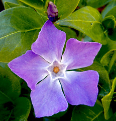 Vinca (maroma) Tags: blue flower nature flor vinca impressedbeauty superbmasterpiece