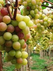 Uvas (Jakza) Tags: frutas natural uvas videiras parreiral duetos nanatureza 3alégua tufototureto