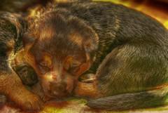 MISSY'S LOVELY PUPPIES (?IC) Tags: dog pet pets puppy puppies sheepdog fav topv9999 germanshepherddog schferhund welpen topf500 deutscherschferhund whelps alsatiandog