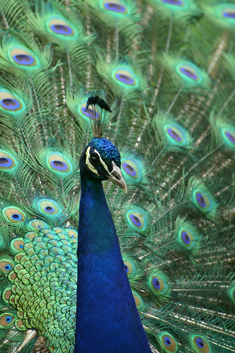 Peacock by anadelmann.