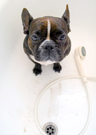French Bulldog Bath-1