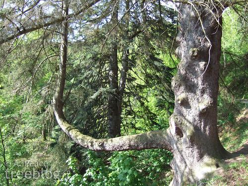 massive spruce