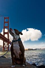 bumpy (pfeyh) Tags: sanfrancisco bridge dog dogs ftpoint