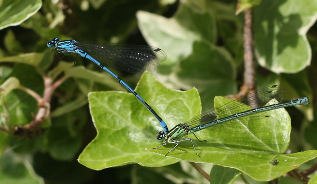 Azure Damselflies (probably)
