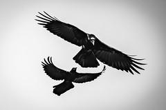 blackandwhitephotography wildlife venicerookery nature birdwatching blackwhite outdoors bwphotography bw d810 birds florida
