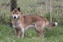 New Guinea Singing Dog (Gary J Morris) Tags: newguineasingingdog canislupusdingohallostromi kota exmoor zoo zoology new guinea singing dog 11022017 gary morris canon 7d mkii canon7dmkii