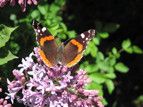 Red Admiral Butterfly. by Leenechan
