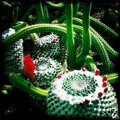 Christmas Cactus by Jason Willis