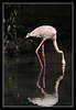 Caribbean Flamingo (Phoenicopterus ruber) (matt :-)) Tags: reflection bird flamingo rosa explore caribbean mattia caribbeanflamingo phoenicopterusruber uccello riflesso ruber naturalmente naturesfinest blueribbonwinner phoenicopterus 80200mmf28d fenicottero fenicotterorosa mywinners nikond80 nginationalgeographicbyitalianpeople consonni mattiaconsonni