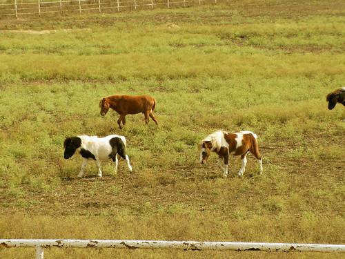 Mini Horse 5