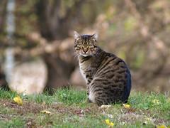 Pythia (Dragan*) Tags: park portrait face grass animal closeup cat garden fur eyes kitten dof bokeh tabby serbia getty belgrade beograd srbija kalemegdan