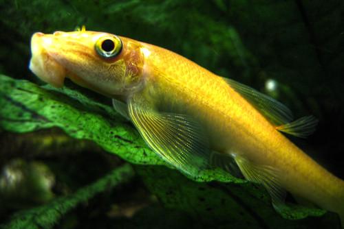 Chinese Algae Eater My Aquarium Club