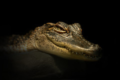 Crocodile eye (noamgalai) Tags: baby eye face look animal yellow dark photography photo eyes flickr teeth small picture aligator sharp explore photograph crocodile allrightsreserved facebook   photomania  noamg noamgalai   aplusphoto wwwnoamgalaicom