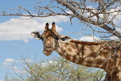 Hello, it's me. (teocaramel) Tags: park animal wildlife giraffe animaux namibia etosha girafe namibie blueribbonwinner abigfave anawesomeshot aplusphoto diamondclassphotographer betterthangood