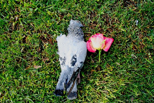 pigeon & rose