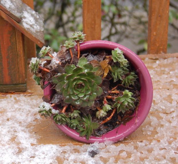 1225_snow_pot_plant