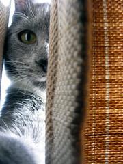 peekaboo (imthinkingoutloud) Tags: white cat grey kitten feline whisper peekaboo curtain kitty gato surprise peek grab flickrchallengegroup imthinkingoutloud