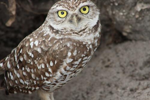 burrowing owls 1-26-08 118