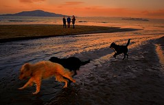 The Exuberance of dogs! (gcquinn) Tags: beach dogs san francisco geoff quinn geoffrey soe presidio  romping mywinners thelittledoglaughed anawesomeshot aplusphoto superbmasterpiece flickersbest theperfectphotographer