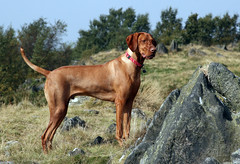 Woody on the Warren Hills (Woody Worth) Tags: puppy pointer woody vizsla 100views elaine worth pup kev visla hungarian whitwick warrenhills