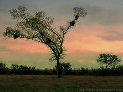 Nido de loras (DrGEN) Tags: africa santiago sky santafe tree argentina del arbol blog yo cielo rosario gen mundo estero ceres sabana veo drgen
