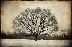 February (deatonstreet) Tags: winter snow tree texture kentucky louisville february avision treesubject