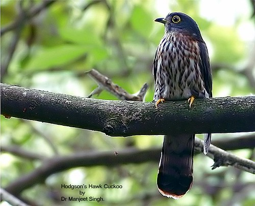 Hodgson's Hawk Cuckoo by Dr Manjeet Singh.