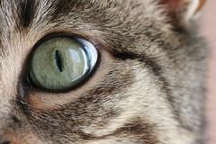 11 Lucy (CatsFrauPau) Tags: eye female cat canon eos 350d lucy katze makro canoneos350d eos350d canoneos auge märz canoneosdigitalrebelxt catseye tanja cateye ratingen eosdigital katzenauge eosrebelxt märz2008