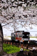 2008/04/01-散歩 (Mitsuaki-T*) Tags: train nikon 桜 osaka sakai 散歩 d300 路面電車 nikkor50mmf18d 堺 阪堺電車
