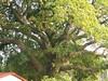 竹山鎮中和里救人老茄苳樹DSCN6027