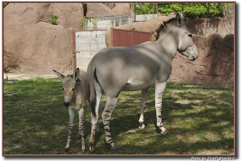 Somali Wild Ass Mother & Baby by Firefighter24-7