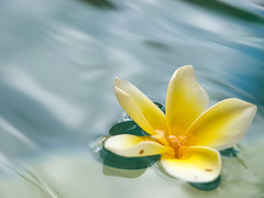 Gone with the Wave (olvwu | ) Tags: bali flower macro pool indonesia plumeria floating wave frangipani apocynaceae 1260 jungpangwu oliverwu oliverjpwu flickrexplore templetree explored olvwu jungpang
