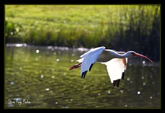 Ibis On The Wing! (iTail ~ Steve Page) Tags: bird nature water reflections wings searchthebest bokeh flight ibis elite ripples soe wonderworld itail supershot mywinners abigfave worldbest platinumphoto anawesomeshot ultimateshot avianexcellence citrit theperfectphotographer goldstaraward multimegashot rubyphotographer vosplusbellesphotos lesamisdupetitprince artofimages