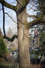 Tree Climing Dude (westonde) Tags: rokkor rokkorpg50mmf14 minolta vintagelens a6300 winter trees tree nature mounttabor portland treeclimbing ropes