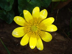 Ranunculus ficaria - Favalgello (vincenzolerro) Tags: languageofflowers