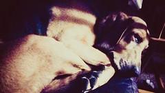 Snooze time (alexanderwhit19) Tags: dog bloodhound sleep peaceful sofa snooze 40winks tired walk animal mammal fur soft dream nature