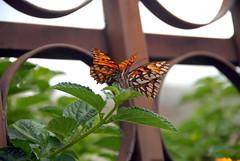 Ecuador_20090328113016 (_Wayfarer) Tags: butterfly butterflies animalsmating