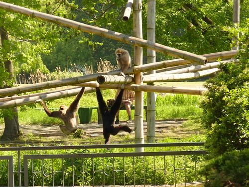 Spaß mit den Affen -  im Mai im Tierpark Berlin-Friedrichsfelde